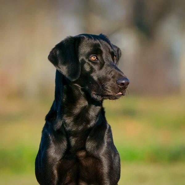 Field Trial Labrador retriever Stud Dog
